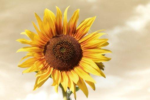 向日葵, 夏季, 花园, 开花, 黄色, 性质, 关闭, 花粉, 宏, 阳光