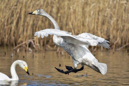 アニマル, 池, 水, 水草, 鳥, 野鳥, 白鳥, オオハクチョウ, 羽, 翼