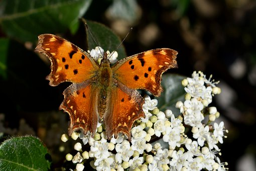 蝴蝶, Polygonia, 鲜花, 盛开, 花序, 开花, 白, 昆虫, 授粉