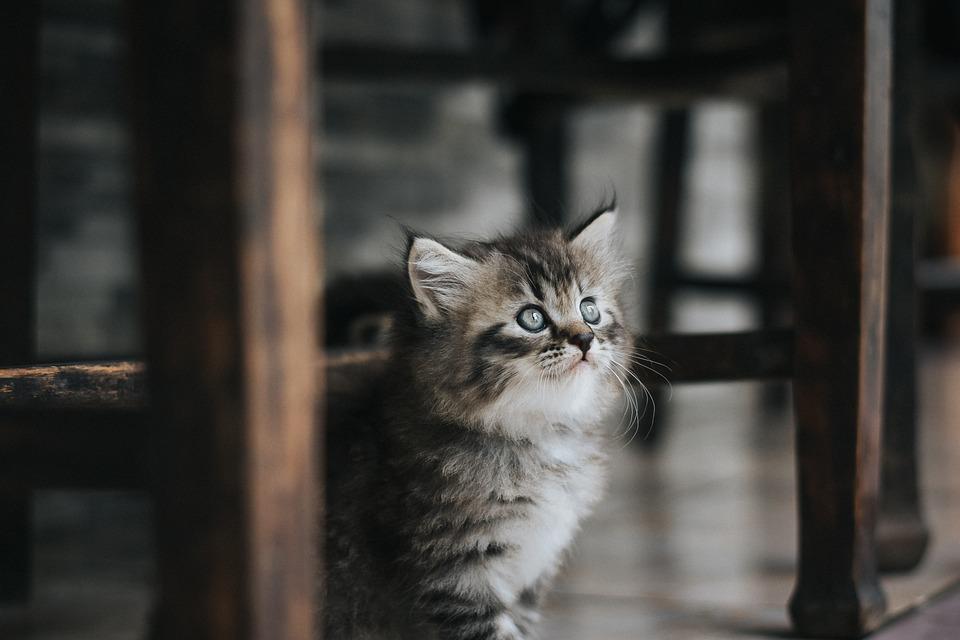Kat, Huisdier, Kitten, Cute