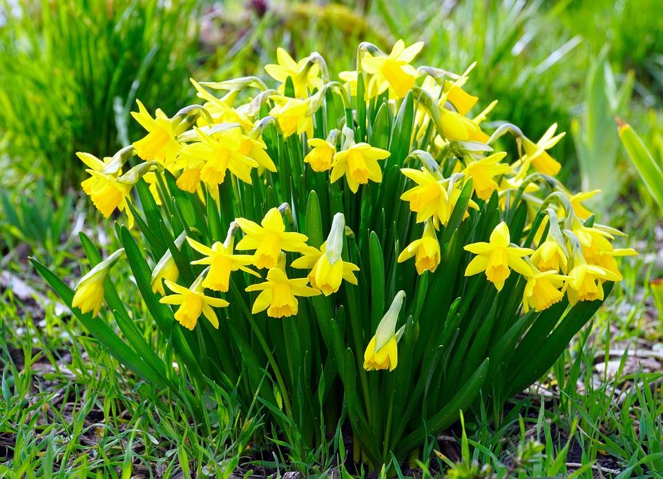 Daffodils, Blossom, Bloom, Osterglocken, Yellow, Nature