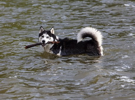 Husky In Water, Dog With Stick, Husky