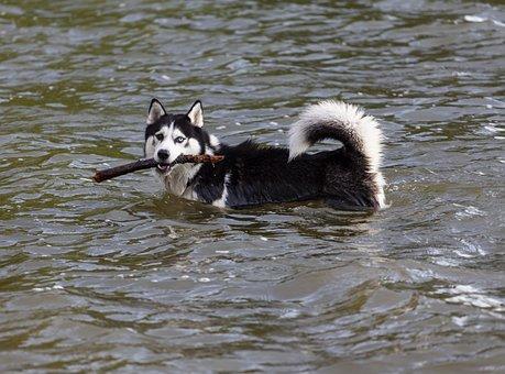 Husky Dans L'Eau, Chien Avec Un Bâton