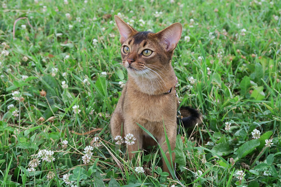 Kittens, Abyssinian Cat, Cats Abyssinians, Abyssinians