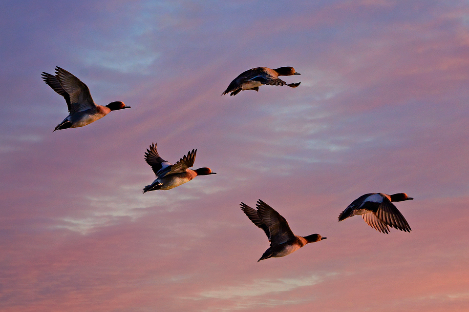 ヒドリガモ, 鴨, 水の鳥, 動物, フライト, 翼, 飛行, 羽, 空, 日の出, 作成した04-03-20