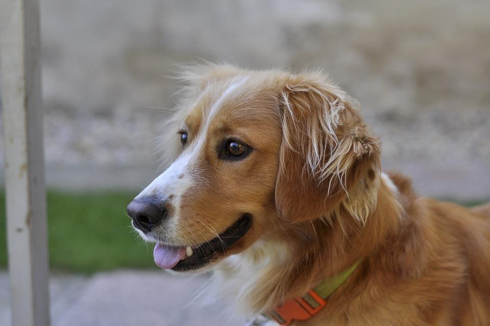 Pies, Zwierzęcy, Ładny, Śliczny, Widok, Portret, Głowa