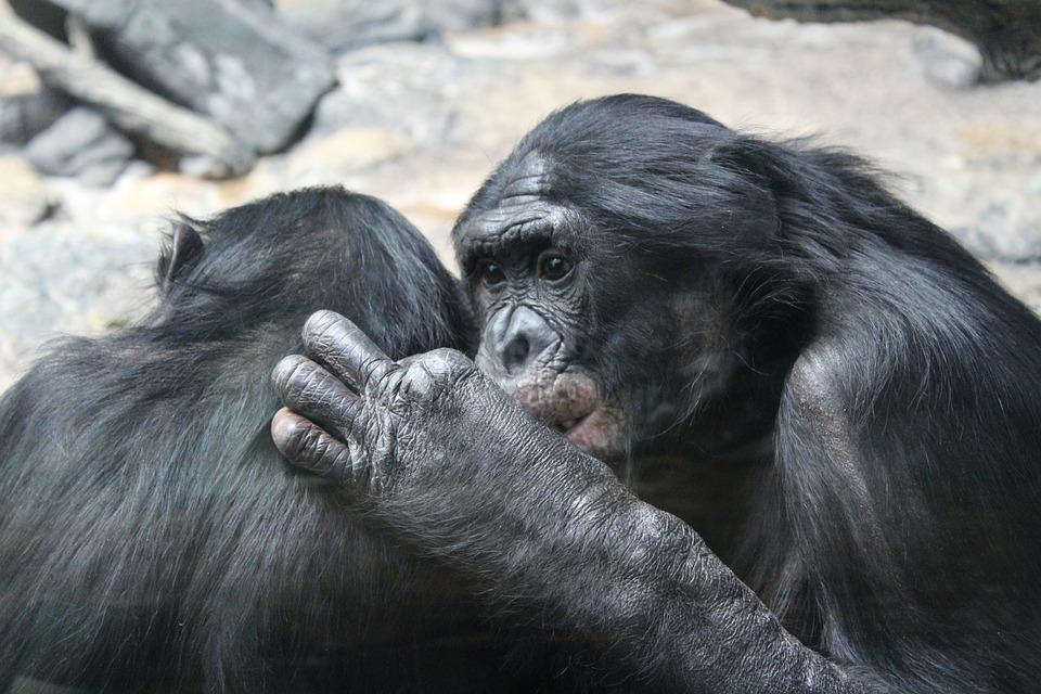 Bonobo, Primates, Singes, Animaux