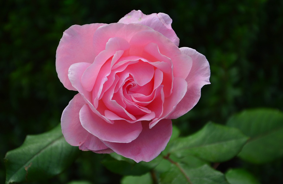 Rose Pink Smell Of Roses Free Photo On Pixabay