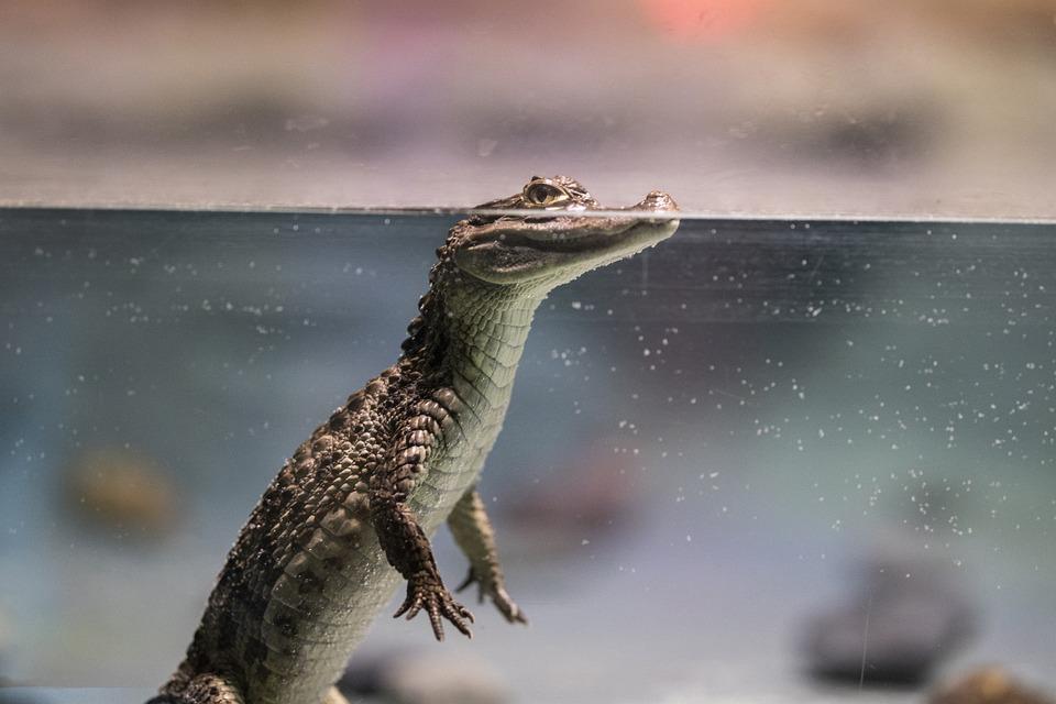 クロコダイル, 爬虫類, 子犬, 水, かわいい, 少し, 歯, 動物, 危険な, 自然, 野生, 目, 歯科