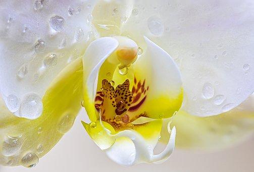Orchidee, Blume, Blütenblätter, Tau