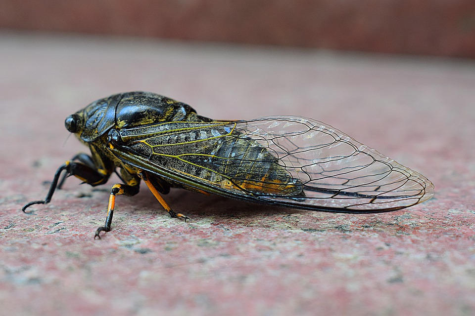 Cicada, Summer, Elf, Insect, Arthropod Resistance
