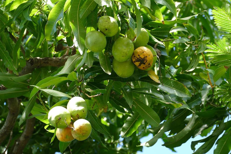 Dominica, Caribbean, Tropical, Fruit, Go, Tasty Tree
