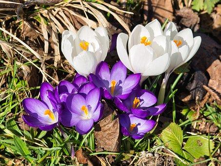 Krokusse, Frühlingsbote, Blume