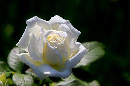 Rose, Rosiers, Arbustes À Fleurs