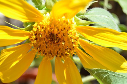 800 Gambar Latar Belakang Bunga Matahari Latar Belakang Gratis