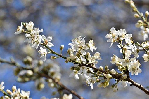 梅花, 开花, 李子树, 盛开, 分支机构, 梅, 水果树开花, 芽, 阳光