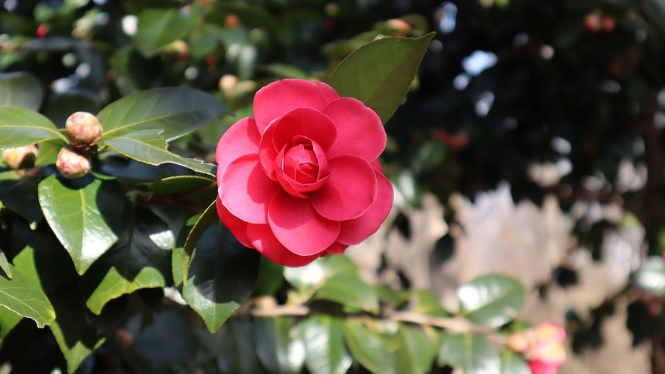 Camellia Flower - Free photo on Pixabay