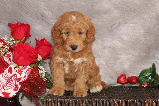 Dog, Doodle, Puppy, Cute, Adorable, Pets