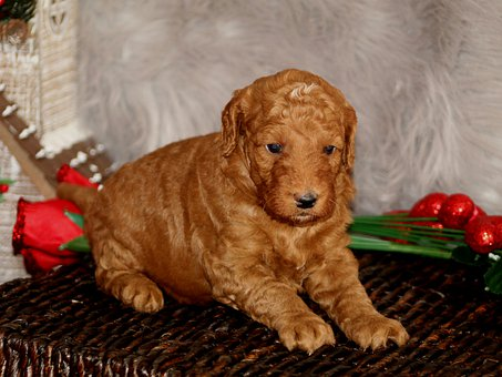 Goldendoodle Puppy, Puppy, Goldendoodle
