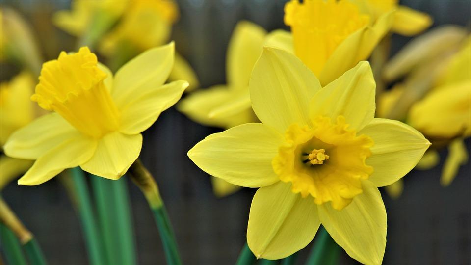 Narcissus Narcis Veľkonočné Zvony - Fotografia zdarma na Pixabay
