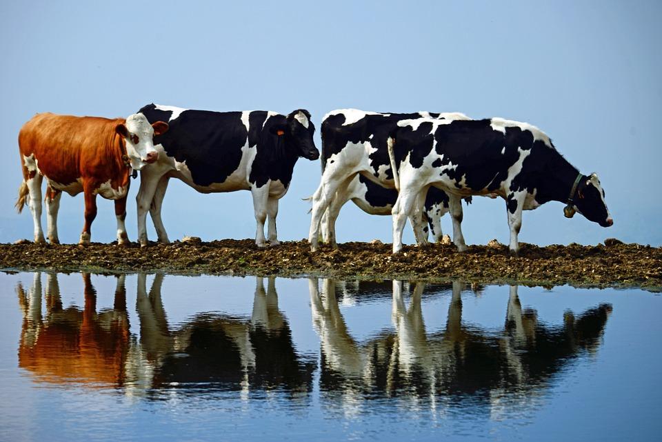 牛, 水, 平和, 徒歩, 富, 青歩, 青い平和, 青牛