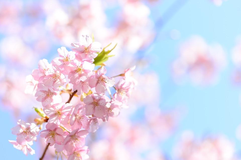 風景, 植物, 自然, 花, 桜, 春, 日本, 日本の風景, 河津桜, カワヅザクラ, ピンク