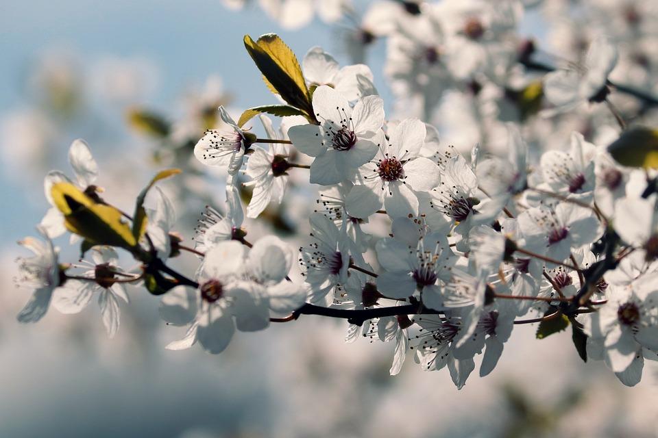 Cherry Plum, Prunus Cerasifera, Myrobalan, Blossom