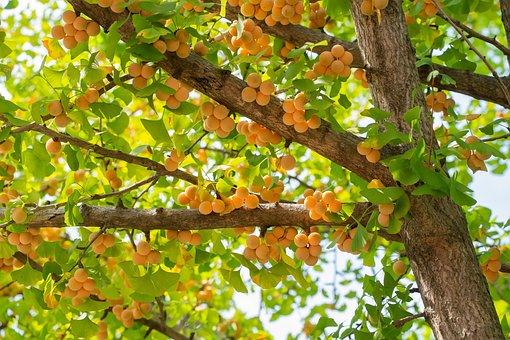 銀杏果, 秋, 健康, 自然, 植物, 木材, 風景, 黄, 木