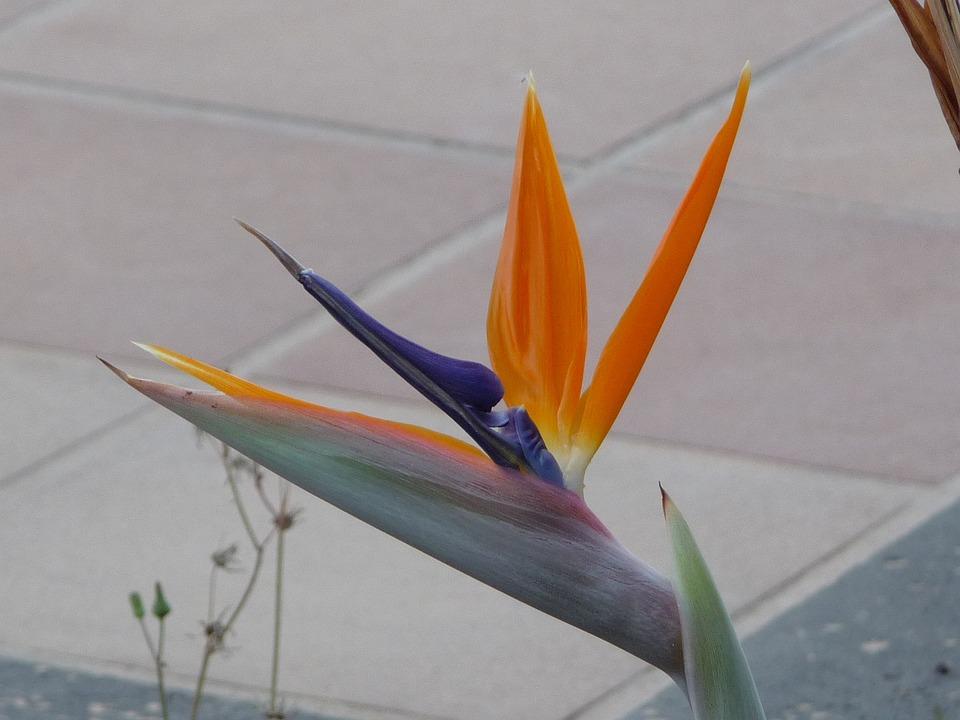 Caudata Tanaman Burung Bunga Surga Foto Gratis Di Pixabay