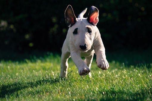 Bull Terrier, Puppy, Dog, Pet, Cute