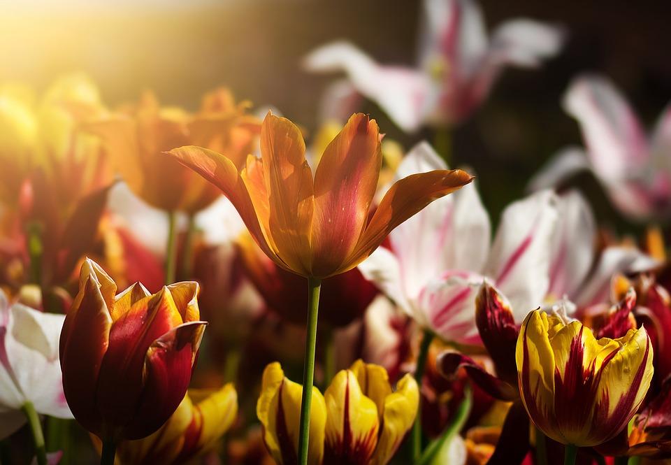 チューリップ, 花, 花のベッド, スプリング, 自然, 植物, ブルーム, フローラ, 花草原, カラフル