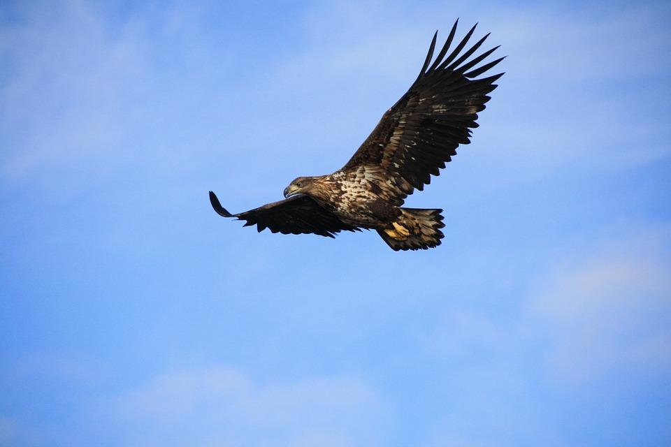 Adler, Vogel, Lofoten, Majestätischen, Fliegen, Tier