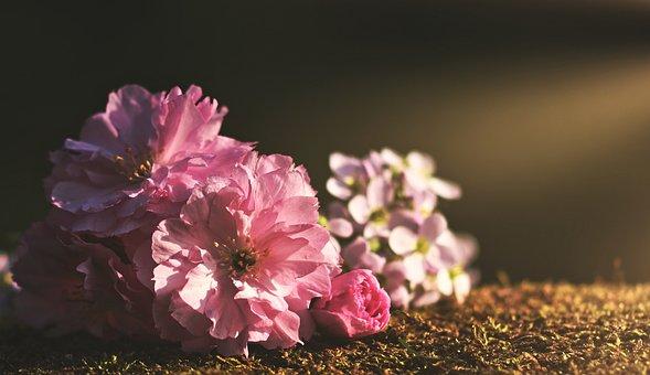 粉红色, 春天, 鲜花, 性质, 开花, 夏季, 植物群, 牡丹