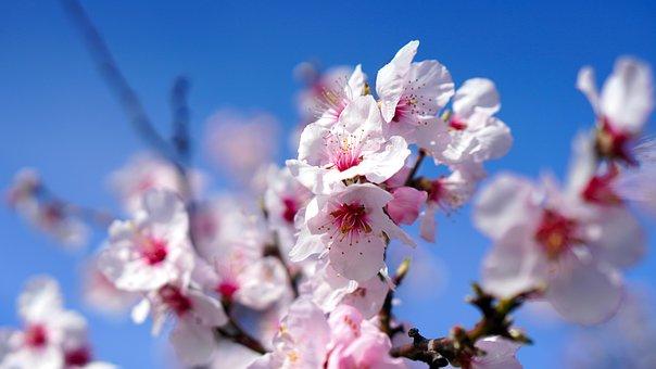 杏仁树, 开花, 春天, 杏仁花, 粉红色, 杏仁, 性质
