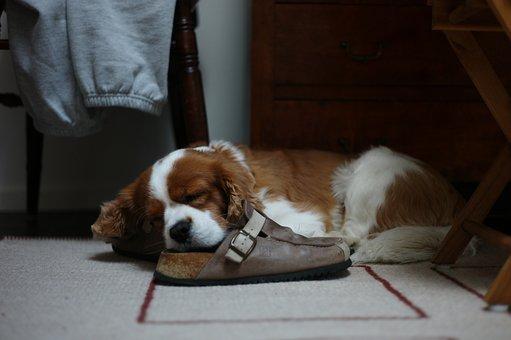 Dog, Sleep, Animals, Cute, Relaxed, Nos