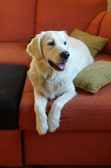 Dog, Golden Retriever, Animals, Fur