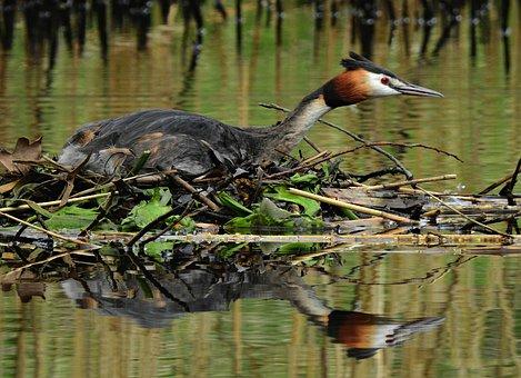 伟大的科鷉, 水鸟, 动物, 羽毛, 巢, 忧郁, 水, 池, 反思, 春天