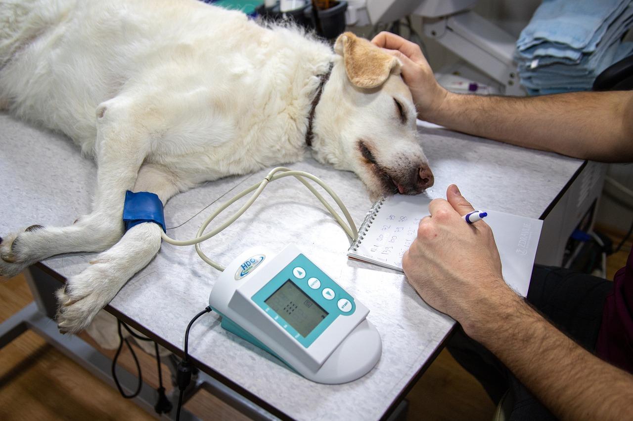 Vet taking blood pressure