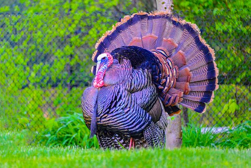 Wildlife, Turkey, Thanksgiving, Bird