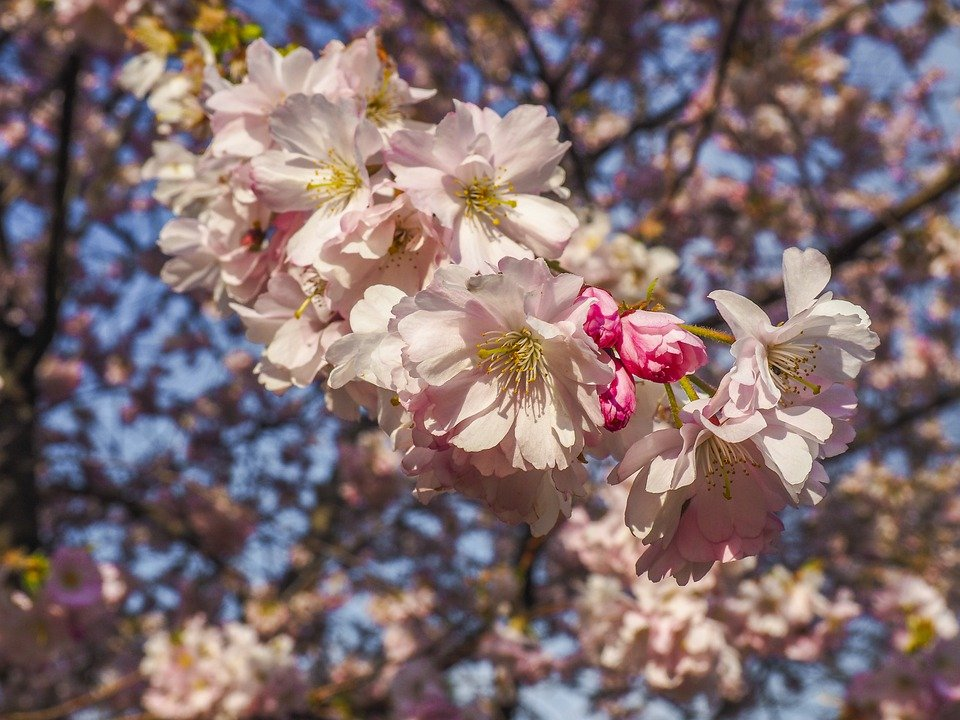Cherry Blossoms, Cherry, Blossom, Bloom, Spring, Tree