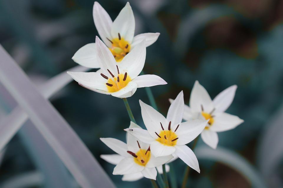 Tulipano Selvatico, Tulipa Sylvestris, Vigna-Tulipano