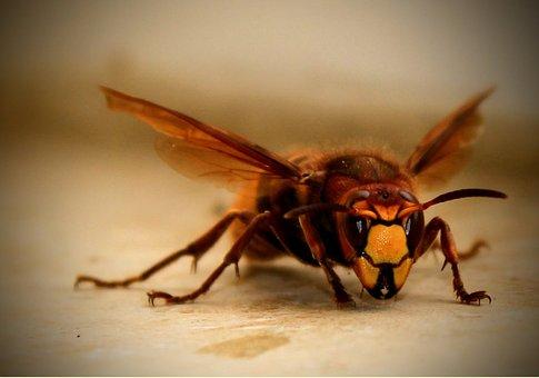 Hornet, Close Up, Black, Yellow, Eyes