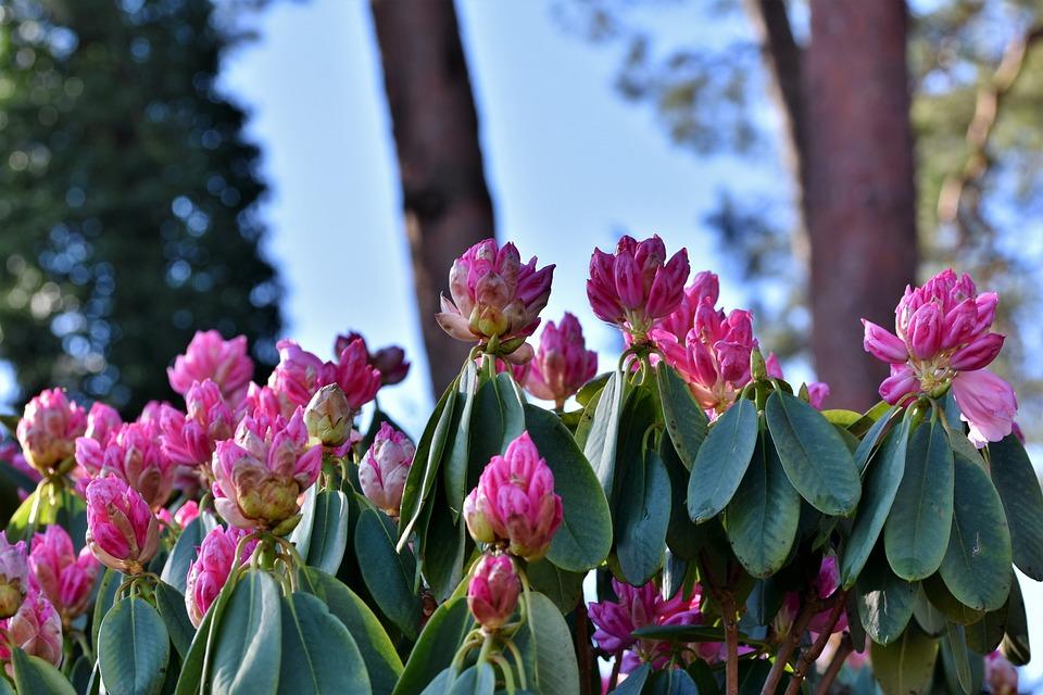 Rhododendron, Rhododendronknospen