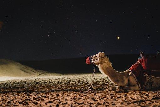 Seekor unta dipadang pasir