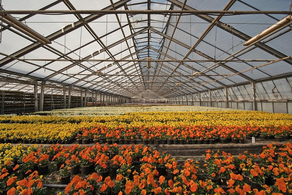 Gewächshaus, Gärtnerei, Blumenbeet, Blumen, Veilchen
