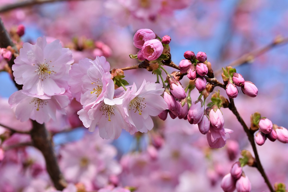 Ornamental Cherry, Cherry Blossoms, Flowering Twig