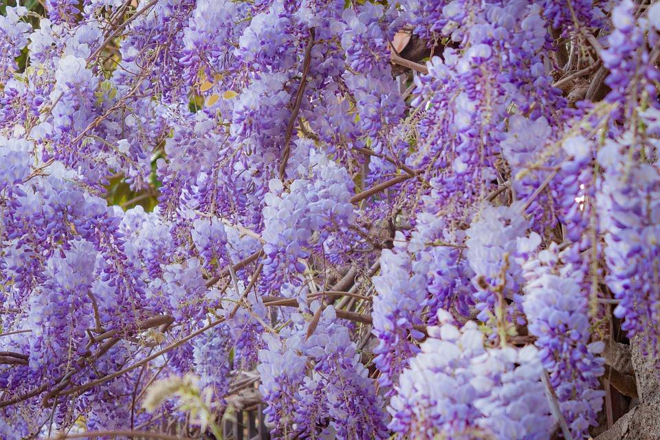 Wisteria, Flower, Garden, Plant, Nature, Bloom, Spring