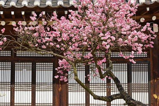 Plum, Plum Flower, Winter, Nature, Clean