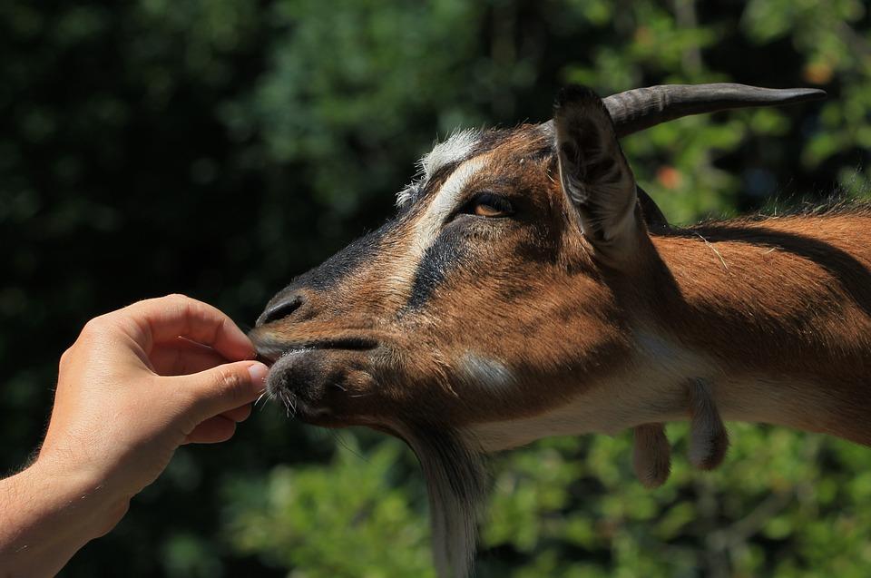 Ged, Fodring, Hånd, Dyr, Foder, Natur, Hoved, Spise