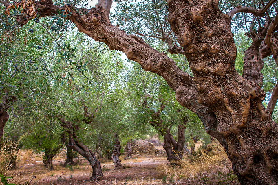 Comment tailler un olivier trop haut
